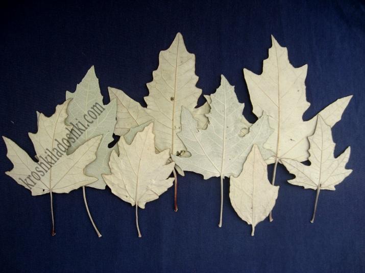 листья тополя серебристого