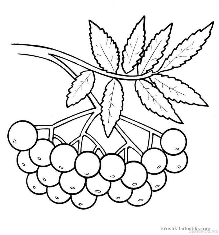гроздь рябины раскраска